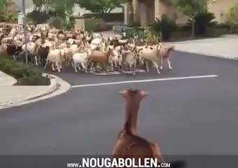 Watch and share Escaped Goats GIFs by TMS on Gfycat