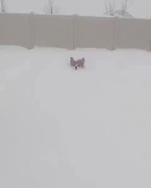 Watch Corgi plowing through deep snow GIF by tothetenthpower (@tothetenthpower) on Gfycat. Discover more related GIFs on Gfycat
