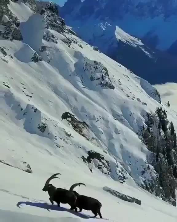 Watch and share Two Rams Pausing Their Mountain Climb To Spar For A Moment GIFs by tothetenthpower on Gfycat