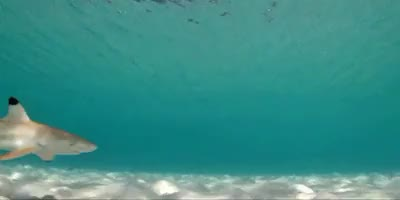 Watch and share Marine Life GIFs and Reef Sharks GIFs on Gfycat