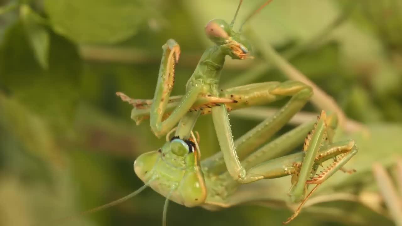Praying mantis Love GIFs