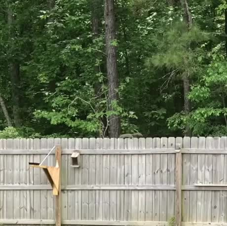 Watch and share Sneaky Squirrel Catapult GIFs by Boojibs on Gfycat