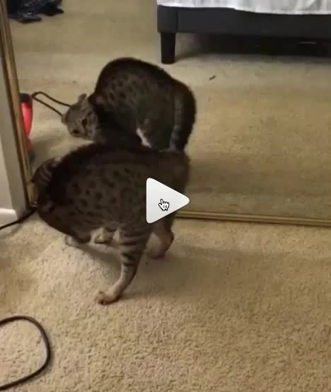aww, cute, Kitty discovering mirrors GIFs