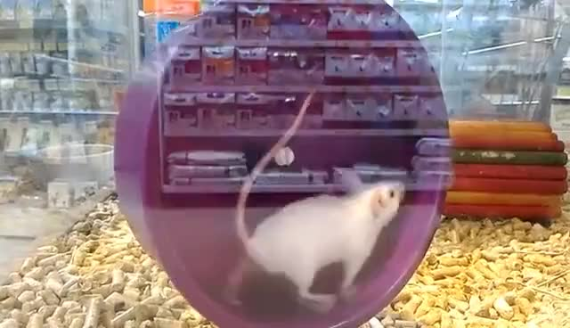 Watch and share Hamster GIFs on Gfycat