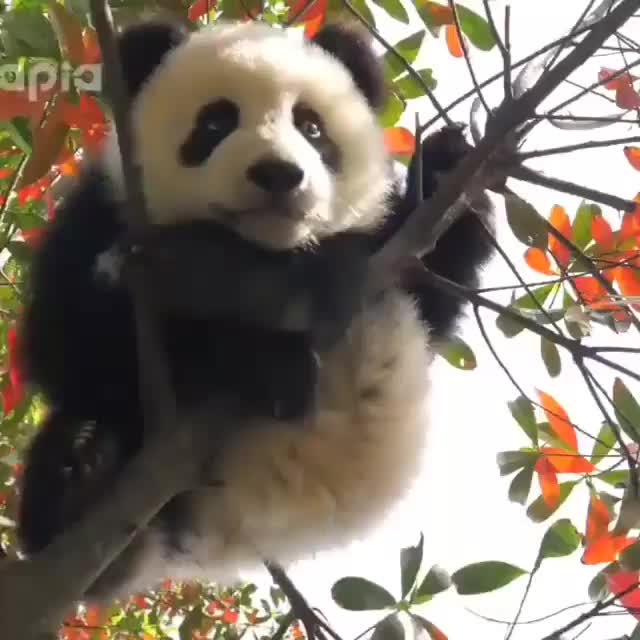 Watch and share Cuteanimals GIFs and Ilovepandas GIFs by colombianbarbie on Gfycat