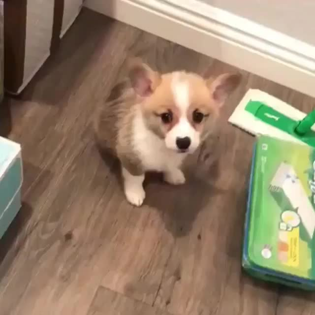 Watch and share Poor Corgo 🙁 GIFs by Thedogman.net on Gfycat