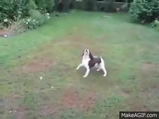 Watch and share Blind Dog Playing Fetch GIFs on Gfycat