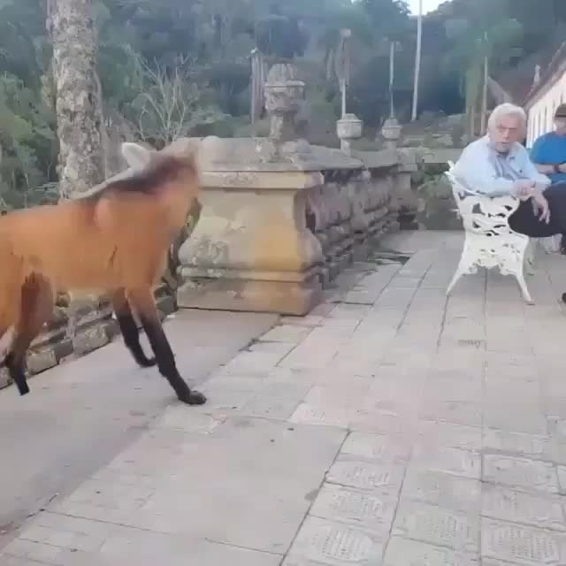 Watch and share Maned Wolf GIFs and Hungry GIFs by Jackson3OH3 on Gfycat