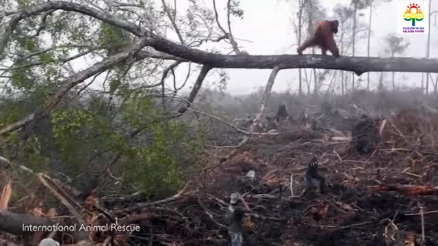 Watch Orangutan Tries To Fight Bulldozer Destroying Habitat GIF on Gfycat. Discover more related GIFs on Gfycat