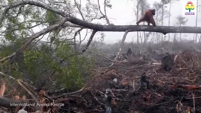 Watch Orangutan Tries To Fight Bulldozer Destroying Habitat GIF on Gfycat. Discover more related GIFs on Gfycat