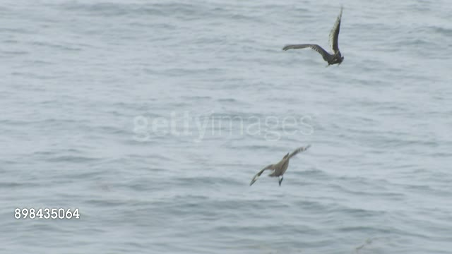 Skua trying to steal a penguin chick from a Turkey Vulture GIFs
