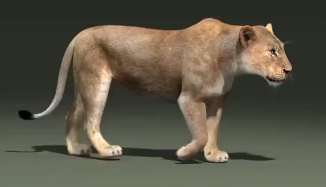 Watch and share Lioness Walk Cycle Animation GIFs on Gfycat