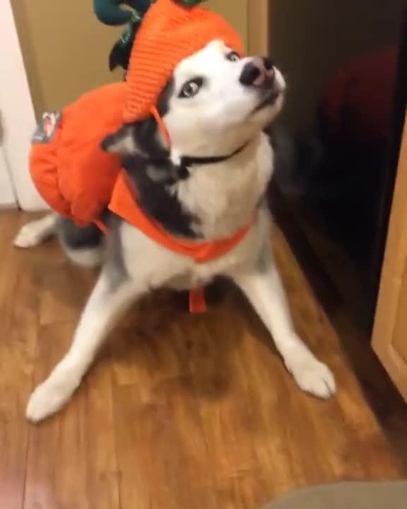 Pets & Animals, viralhog, Dogs Not Impressed with Halloween Costumes || ViralHog GIFs