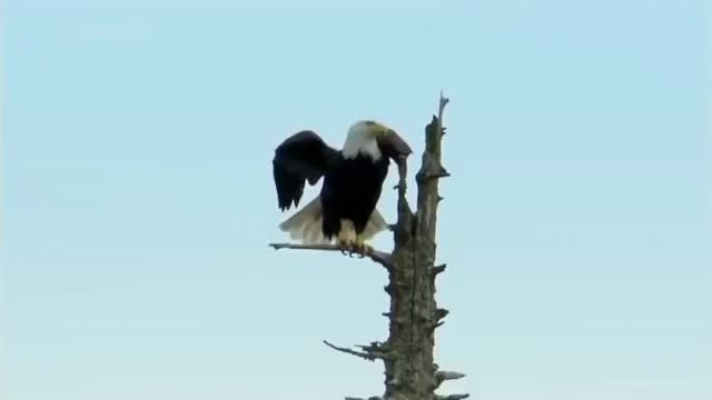 Watch bald-eagle GIF by @paulachuff on Gfycat. Discover more related GIFs on Gfycat