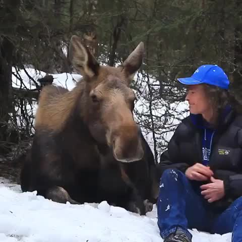 alaska, amazing, animals, antlers, breckenridge, bullmoose, elk, grandtetonnationalpark, ilovemoose, moose, moosecrossing, moosefoto, mountains, natgeo, sunrise, wild, wildlife, wildlifephotography, wildlifeplanet, älg, Dream moment by @akshiloh ❤️ . ❗️Please never approach a moose in the wild!! . . . . . Video by @akshiloh GIFs