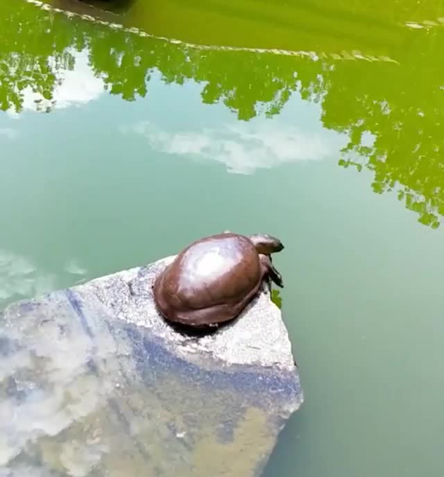 nature, Turtle enjoying a nice morning stretch (@antayaresorts) GIFs