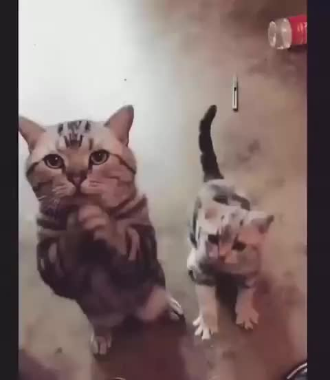 Watch and share Kitten GIFs and Cat GIFs by Boojibs on Gfycat