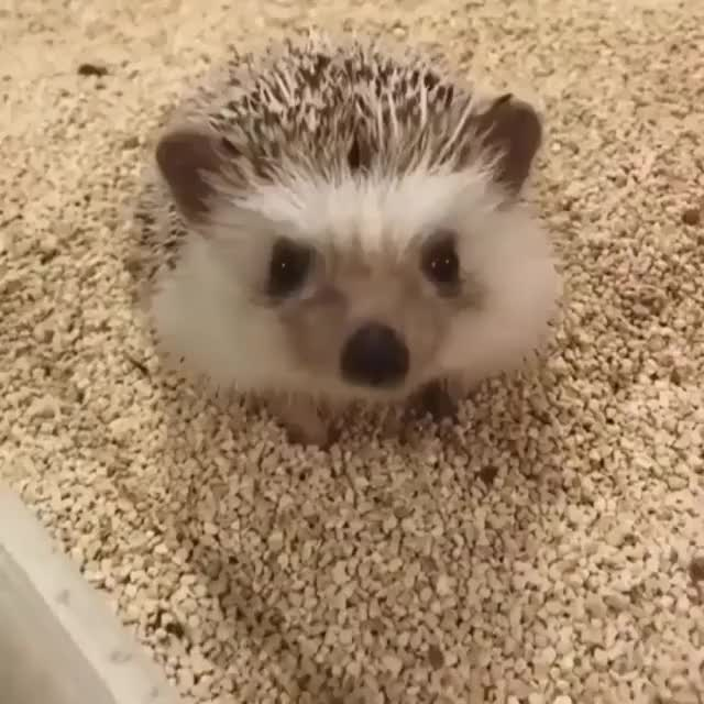 Watch this hedgehog GIF on Gfycat. Discover more hedgehog GIFs on Gfycat