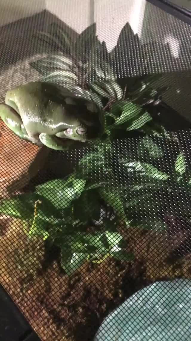 Watch frog GIF on Gfycat. Discover more related GIFs on Gfycat