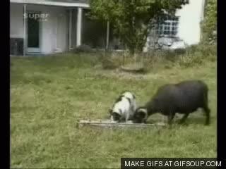 goats GIFs