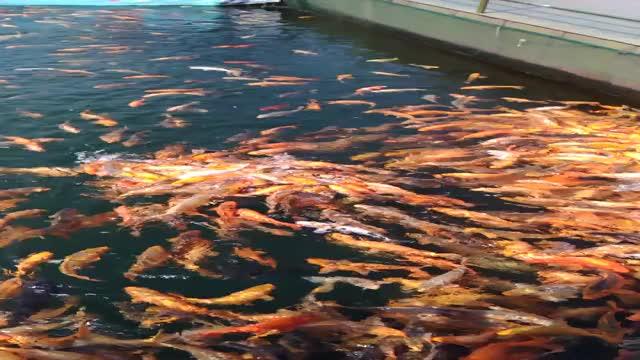 Watch and share Feeding Fish GIFs by leihao on Gfycat
