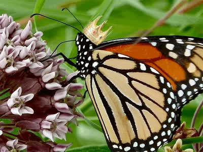 Watch and share Monarch Butterfly Animated GIF GIFs on Gfycat