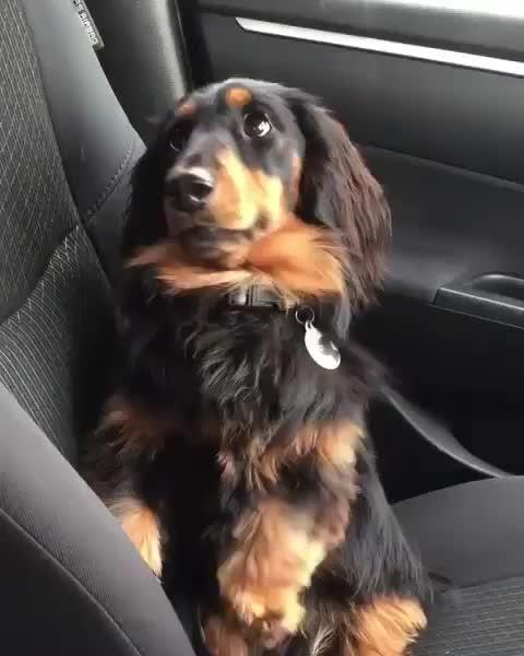 dachshund, dog, petinsider.com, Sound on 😭 @hugodach GIFs
