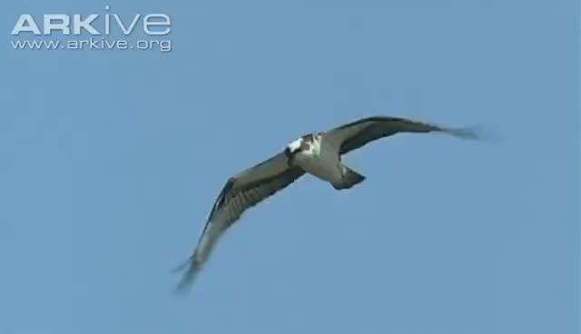 Watch and share Osprey -- The Ultimate Fisher GIFs on Gfycat