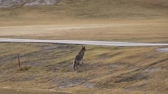 Watch and share Coyote Intercepts A Coot GIFs by Pardusco on Gfycat