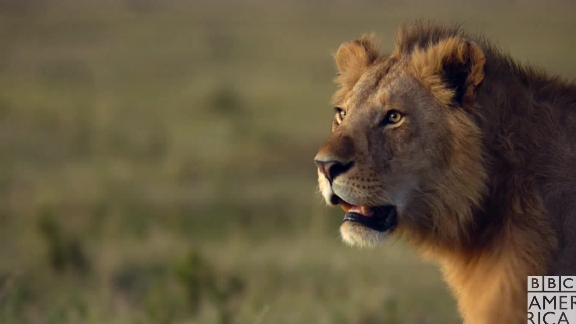 animal, animals, bbc america, bbc america: dynasties, dynasties, lion, lions, shocked, surprise, wow, Dynasties Lion Tatu Surprised GIFs