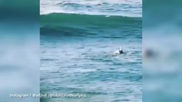 Watch Incredible moment diving dolphin knocks surfer off his board GIF on Gfycat. Discover more dolphins, ocean, surfing, viral, water GIFs on Gfycat