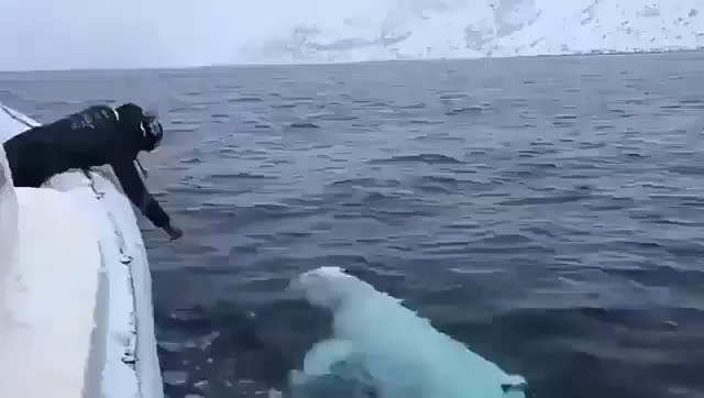 Watch and share Beluga Whale Playing Fetch Near The North Pole GIFs by PrviAxiom on Gfycat