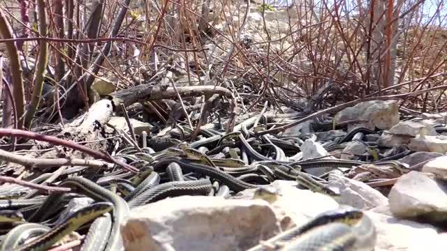 Hundreds of Large Garter Snakes in Den || ViralHog