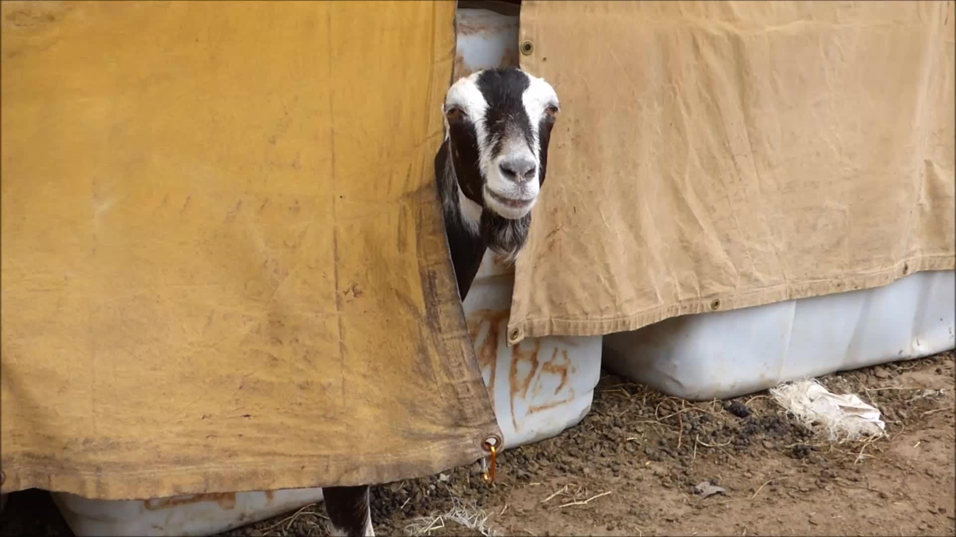 animalsbeingderps, aww, eyebleach, funny, goat, knsfarm, Heidi's Clip GIFs