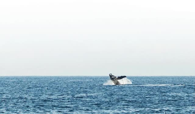 Watch and share Breaching Humpback Whale Animation GIFs on Gfycat
