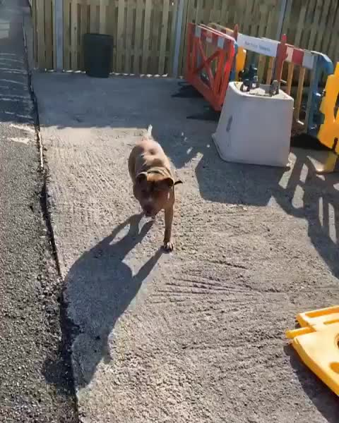 Watch and share Blue Eyed Bullys Uk GIFs and Athleticdog GIFs by vani  on Gfycat