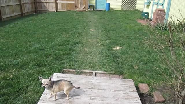 Watch and share Chihuahua GIFs and Dog GIFs on Gfycat