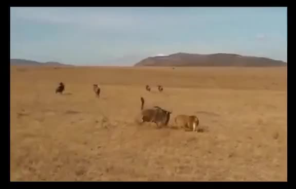 Watch and share Top Lion Hunting - Crazy Fight Amazing ► Blue GIFs on Gfycat