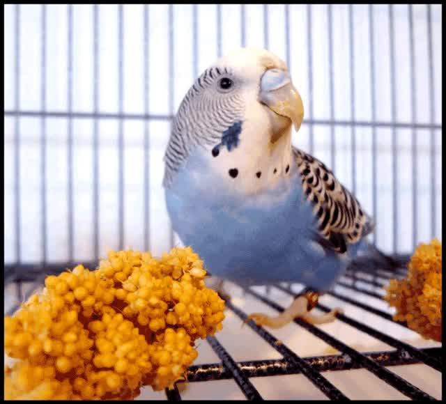 Watch and share Budgie GIFs on Gfycat