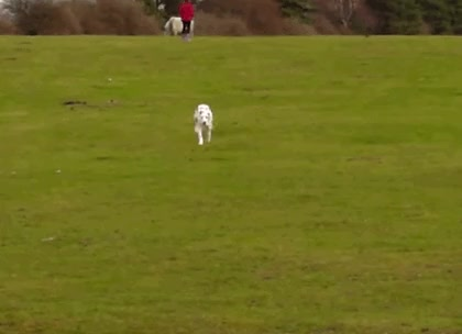 Watch and share Dalmatian Running GIFs on Gfycat