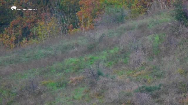 Watch and share Italian Wolves Hunting A Roe Deer GIFs by Pardusco on Gfycat