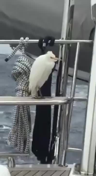 Watch Balancing bird on boat wow!!!!! GIF on Gfycat. Discover more birds GIFs on Gfycat