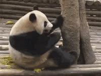 itchy, panda, cute, aww GIFs