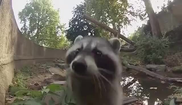 Watch this racoon GIF on Gfycat. Discover more racoon, sweet, zoo GIFs on Gfycat