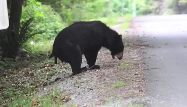Watch and share North American Black Bear Takes A Dump GIFs on Gfycat