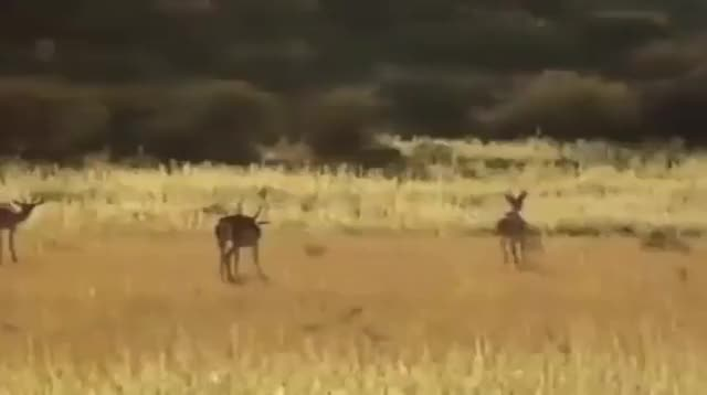 Watch and share Antelope GIFs by drjsfro on Gfycat