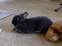 animals, bunnies, bunny, cute, rabbit, Rabbit GIFs