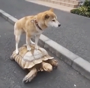 animalsbeingjerks, awwgifs, gifs, Dog riding on a turtle GIFs