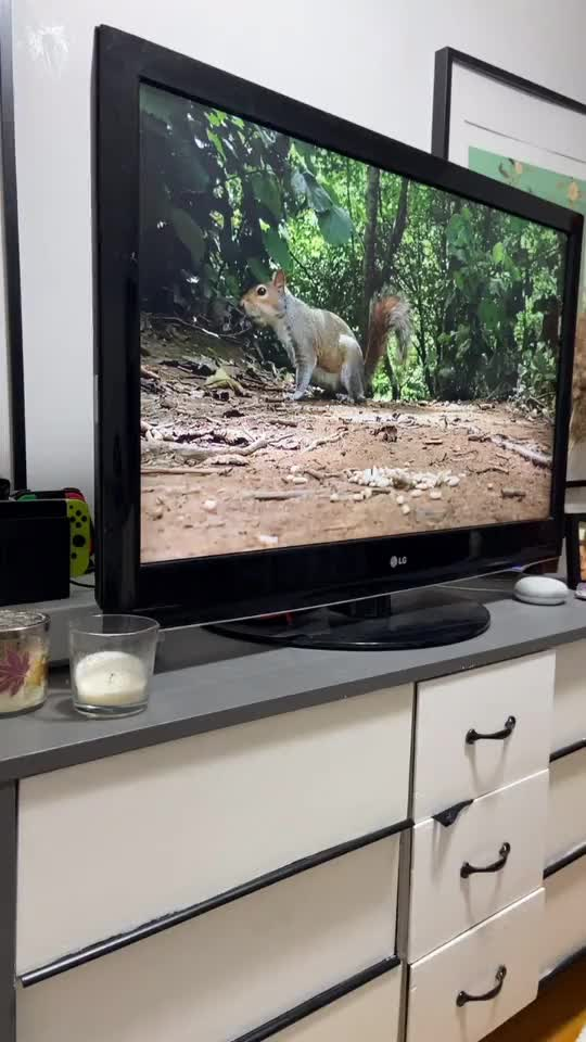 Watch and share Watching Tv GIFs and Squirrel GIFs by Thund3rbolt on Gfycat