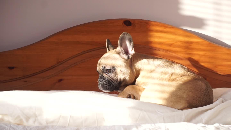 animals, cute, cute animals, dog, french bulldog, frenchie, puppy, sleepy, Sleepy Pumba GIFs